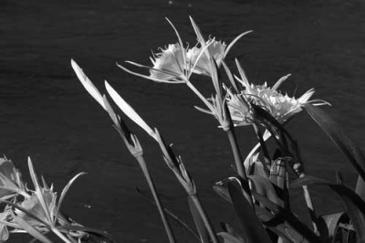 Rocky shoals spider lilies a rare spectacle
